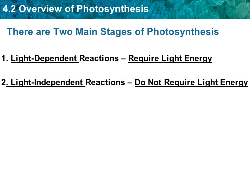 There are Two Main Stages of Photosynthesis