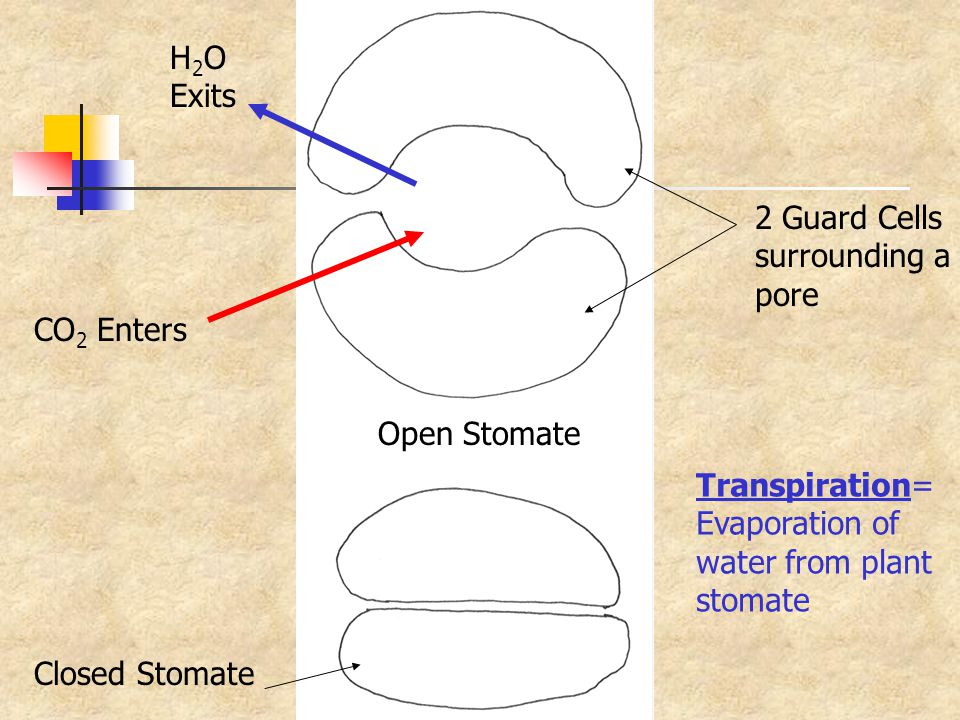 H2OExits 2 Guard Cells. surrounding a. pore. CO2 Enters. Open Stomate. Transpiration= Evaporation of water from plant.
