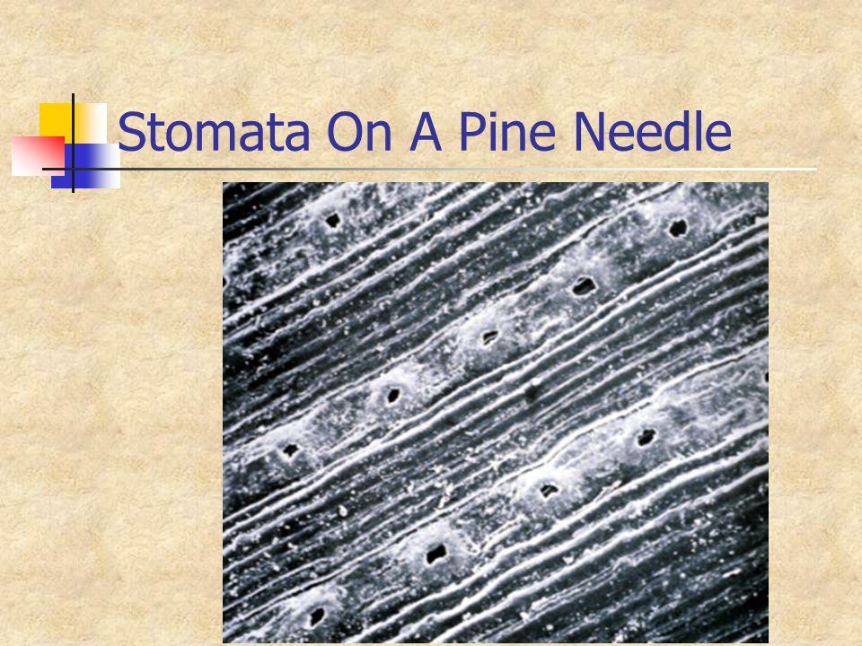 Stomata On A Pine Needle