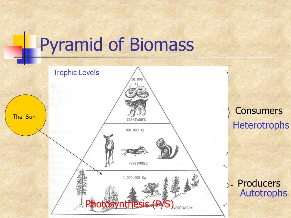 Pyramid of Biomass Consumers Heterotrophs Producers Autotrophs