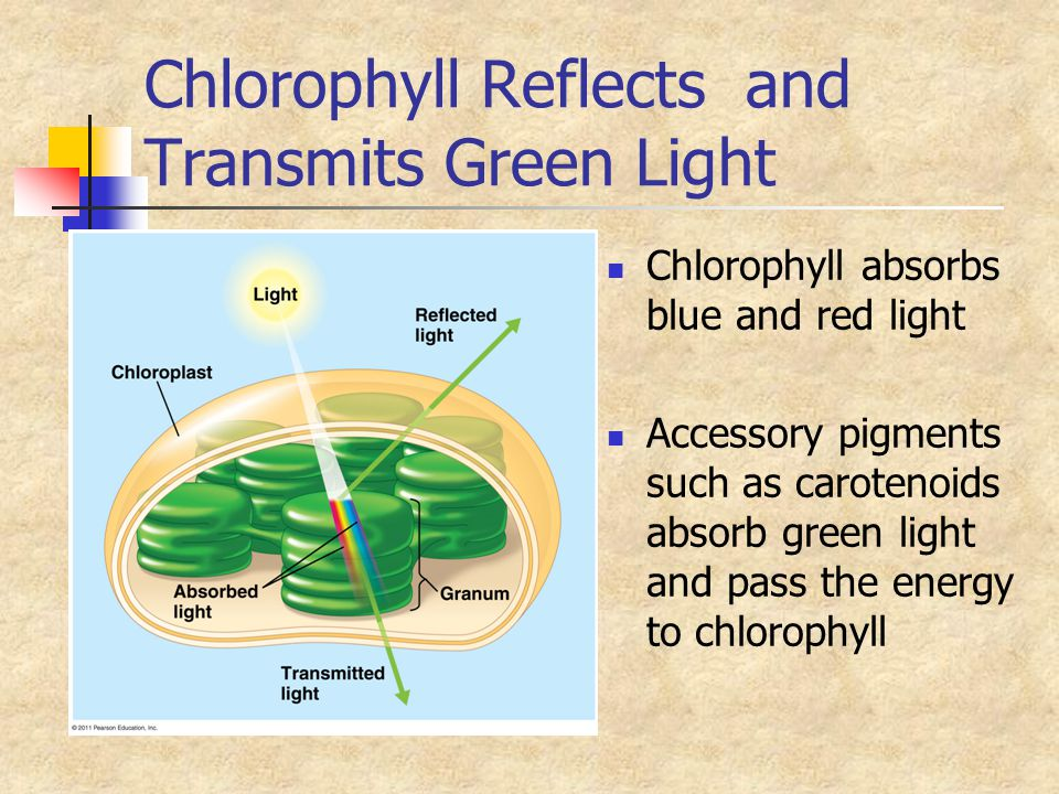 Chlorophyll Reflects and Transmits Green Light