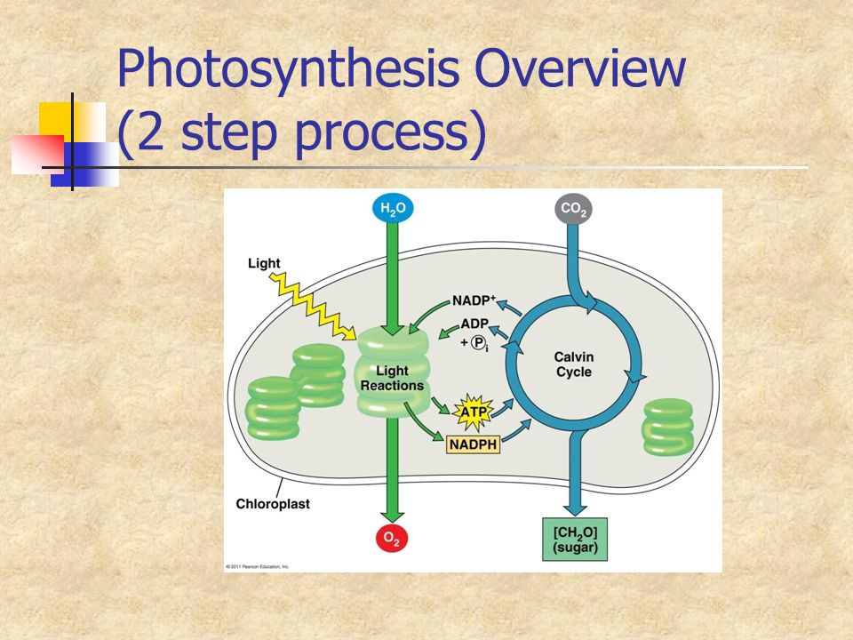 Photosynthesis Overview (2 step process)
