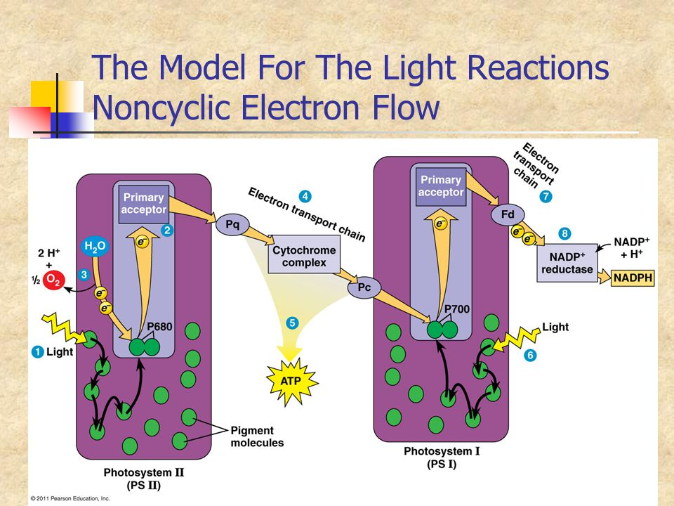 The Model For The Light Reactions Noncyclic Electron Flow