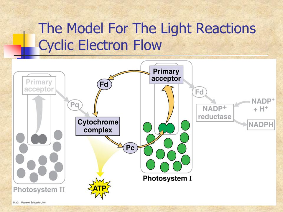 The Model For The Light Reactions Cyclic Electron Flow