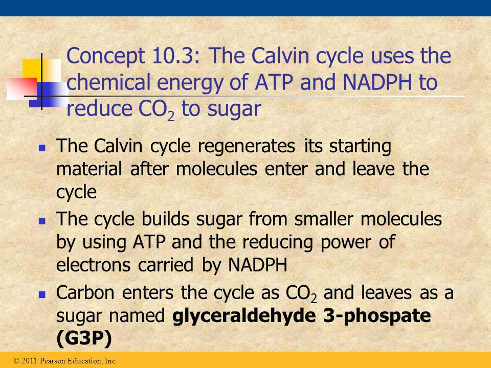 Concept 10.3: The Calvin cycle uses the chemical energy of ATP and NADPH to reduce CO2 to sugar