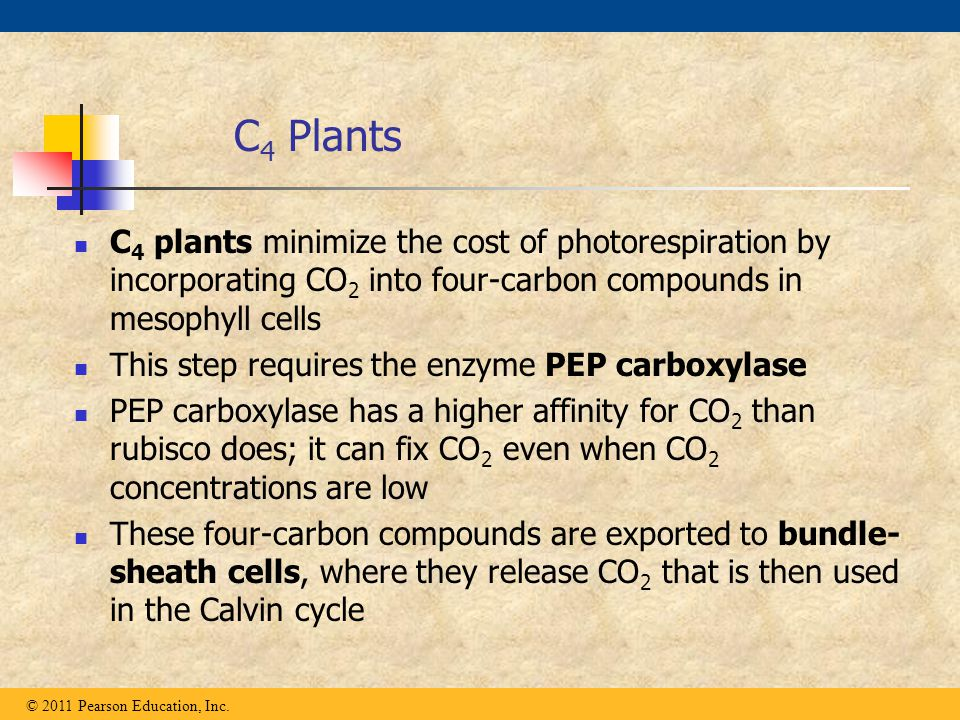 C4 Plants C4 plants minimize the cost of photorespiration by incorporating CO2 into four-carbon compounds in mesophyll cells.