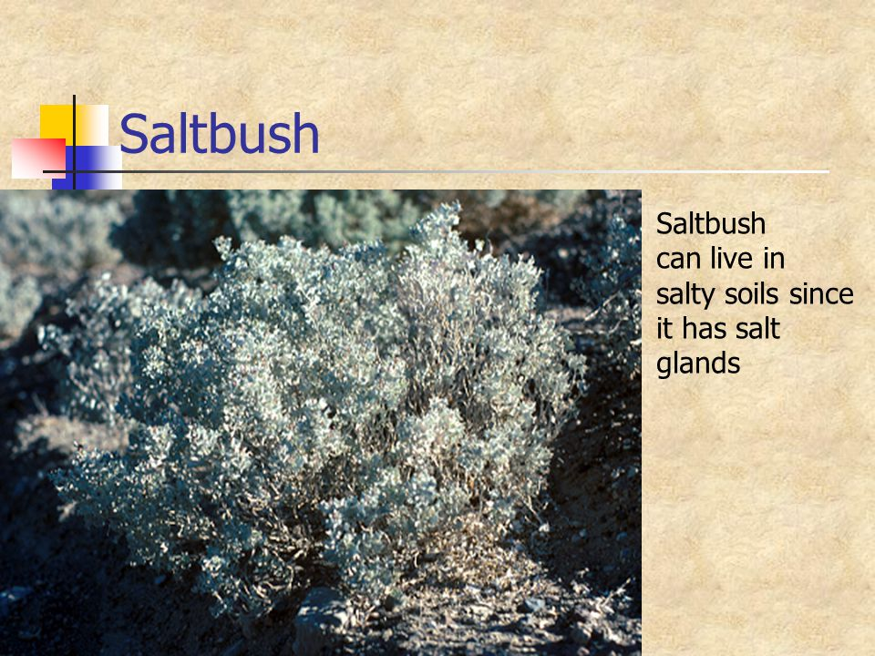 Saltbush Saltbush can live in salty soils since it has salt glands