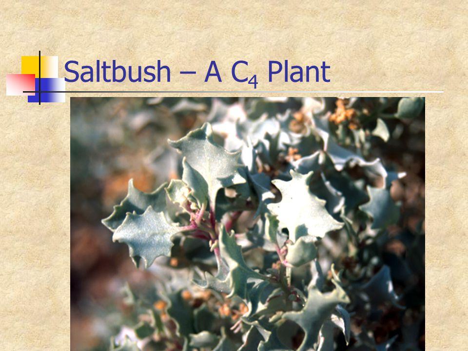 Saltbush – A C4 Plant