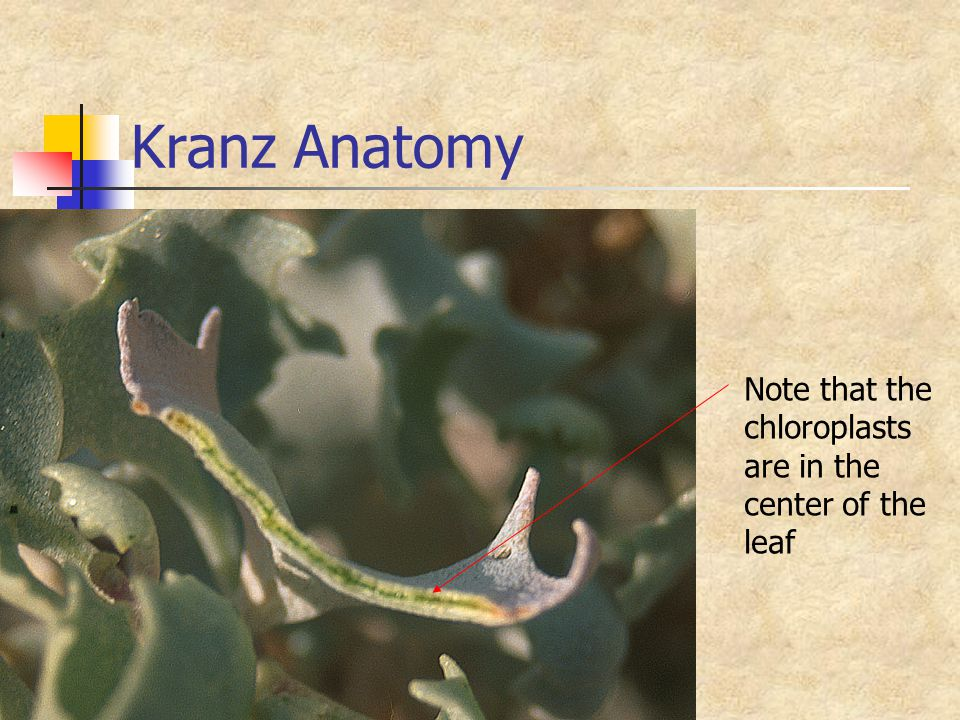 Kranz Anatomy Note that the chloroplasts are in the center of the leaf