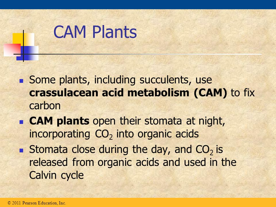 CAM Plants Some plants, including succulents, use crassulacean acid metabolism (CAM) to fix carbon.