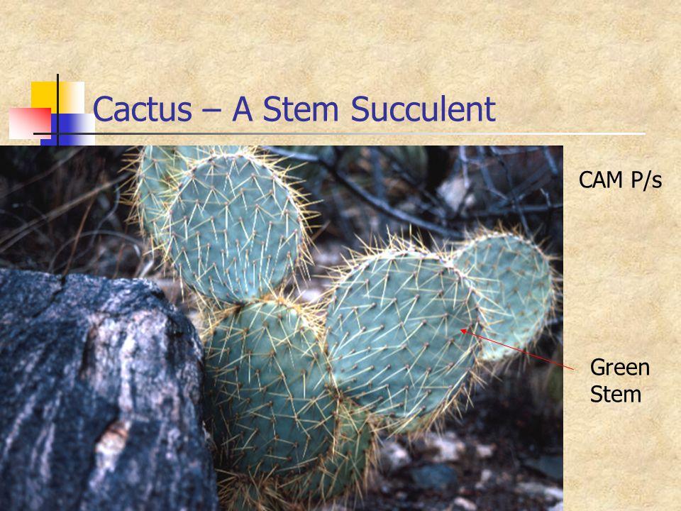 Cactus – A Stem Succulent