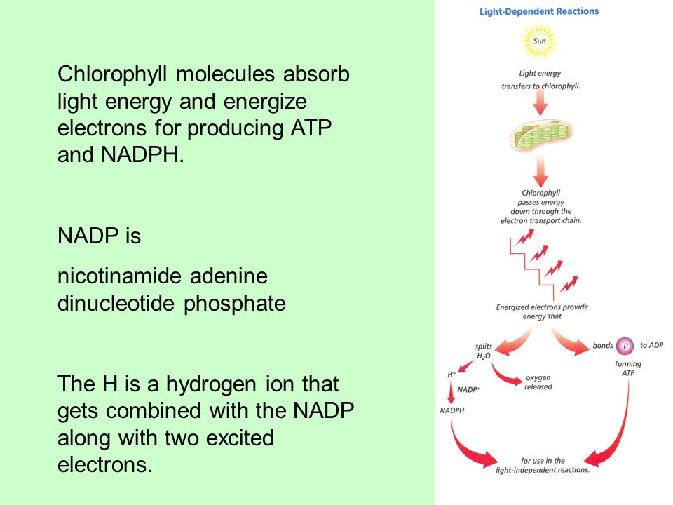 Chlorophyll molecules absorb light energy and energize electrons for producing ATP and NADPH.