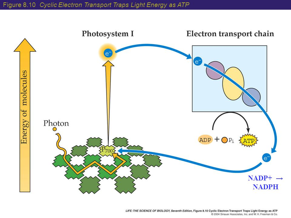 Figure 8.10 Cyclic Electron Transport Traps Light Energy as ATP
