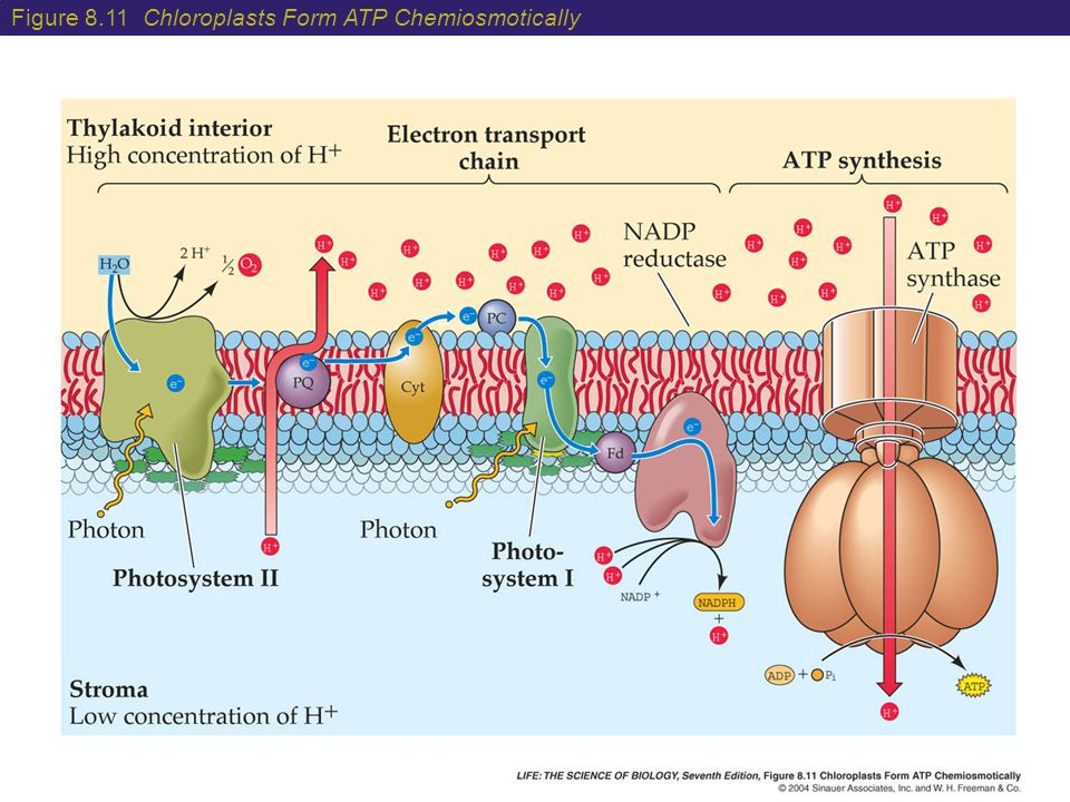 Figure 8.11 Chloroplasts Form ATP Chemiosmotically