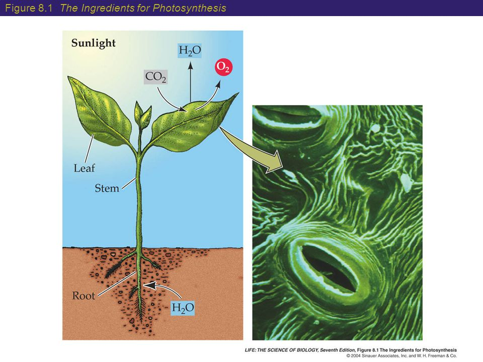 Figure 8.1 The Ingredients for Photosynthesis