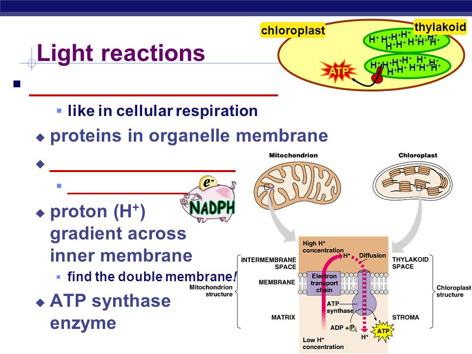 Light reactions _______________________ proteins in organelle membrane