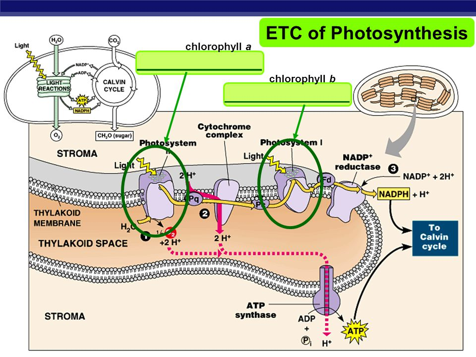 ETC of Photosynthesis ______________ ______________ chlorophyll a
