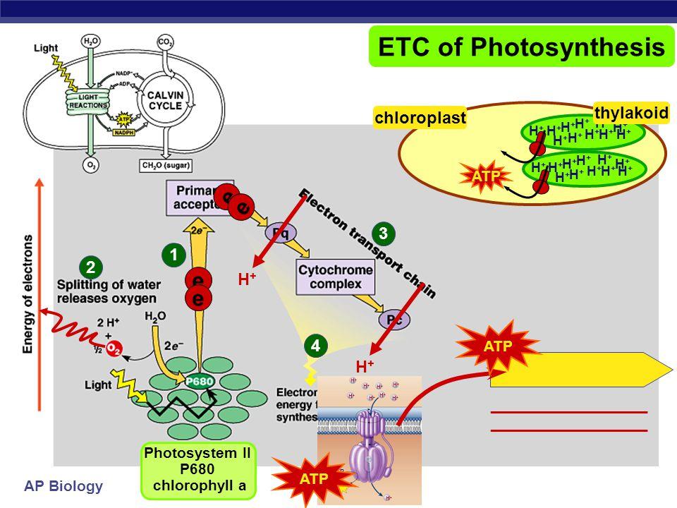 _________________ _________________ Photosystem II P680 chlorophyll a