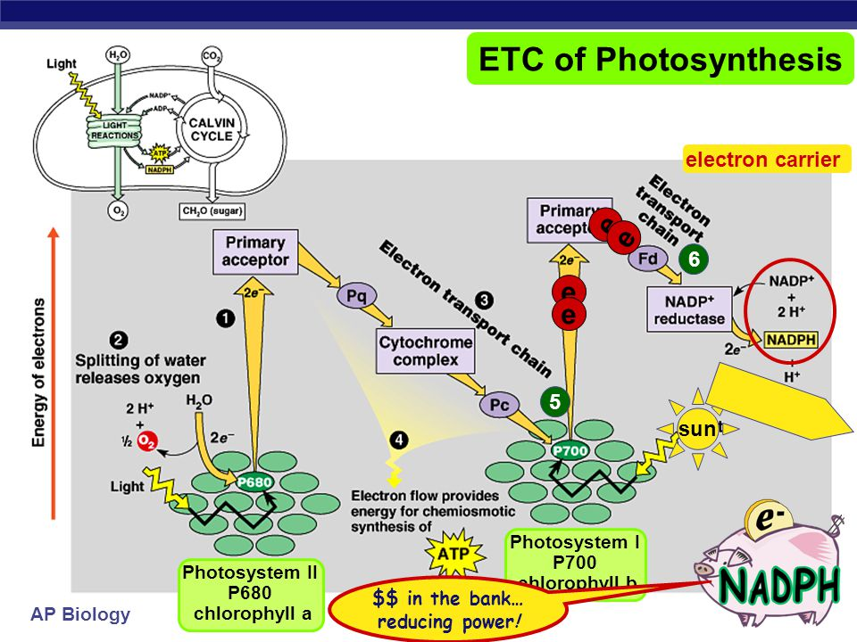 ETC of Photosynthesis e e electron carrier 6 5 sun