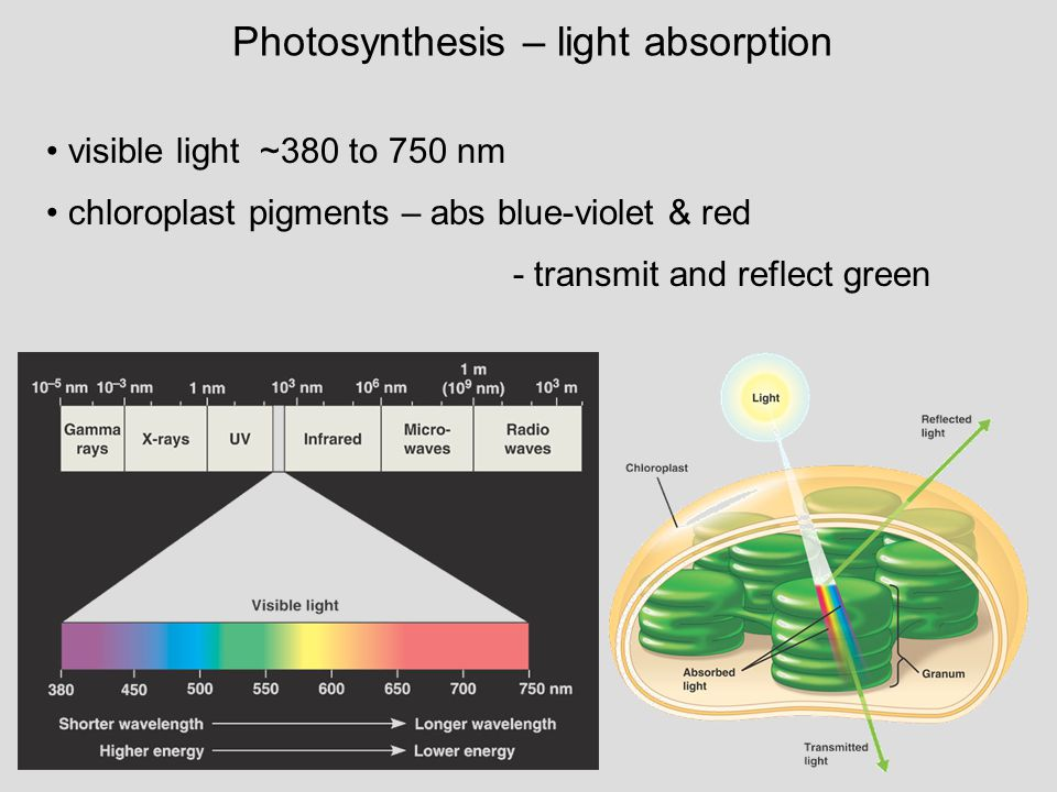 Photosynthesis – light absorption