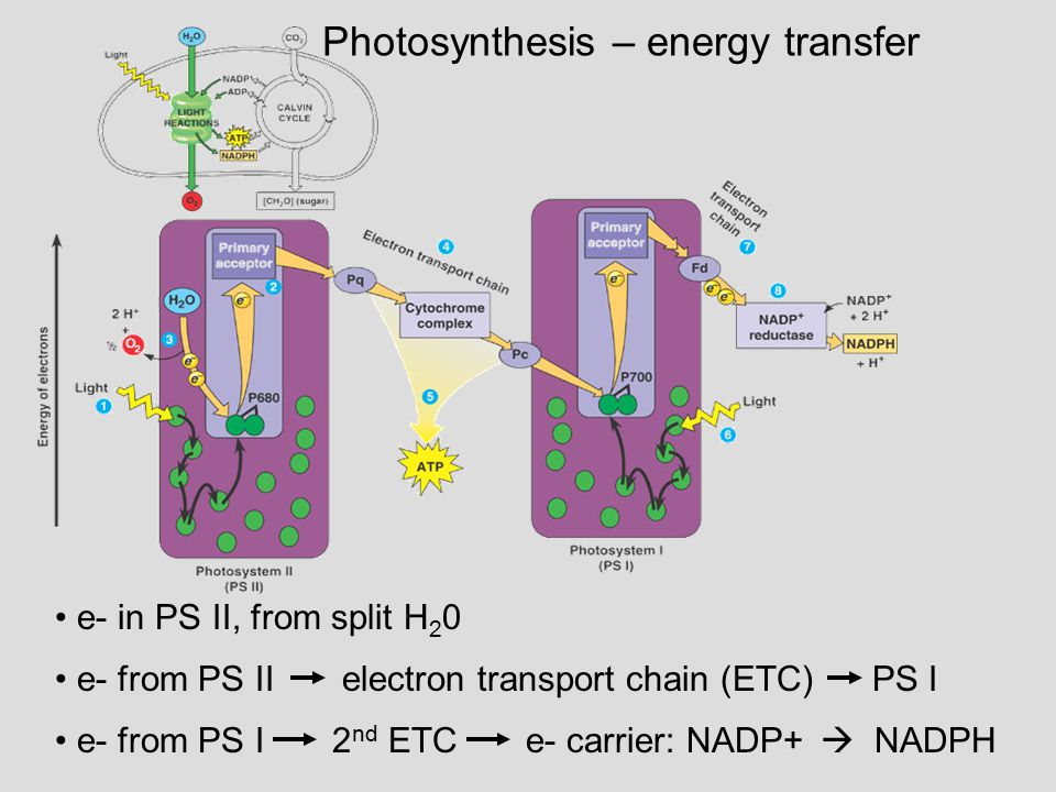 Photosynthesis – energy transfer