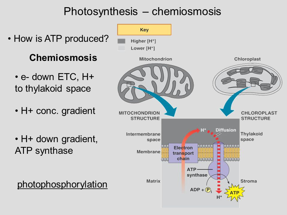chemiosmosis in photosynthesis Photosynthesis in plants takes place in chlorophyll-containing organelles called   an h+ gradient that drives atp synthesis in a process called chemiosmosis.