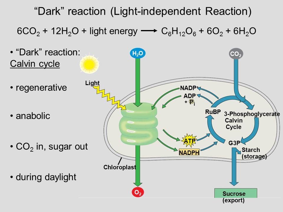 Dark reaction (Light-independent Reaction)