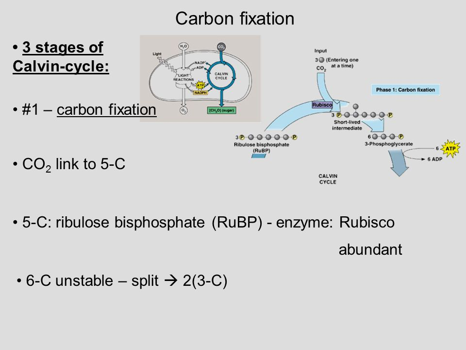 Carbon fixation • 3 stages of Calvin-cycle: • #1 – carbon fixation