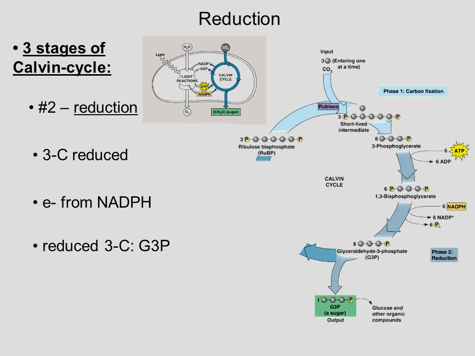 Reduction • 3 stages of Calvin-cycle: • #2 – reduction • 3-C reduced