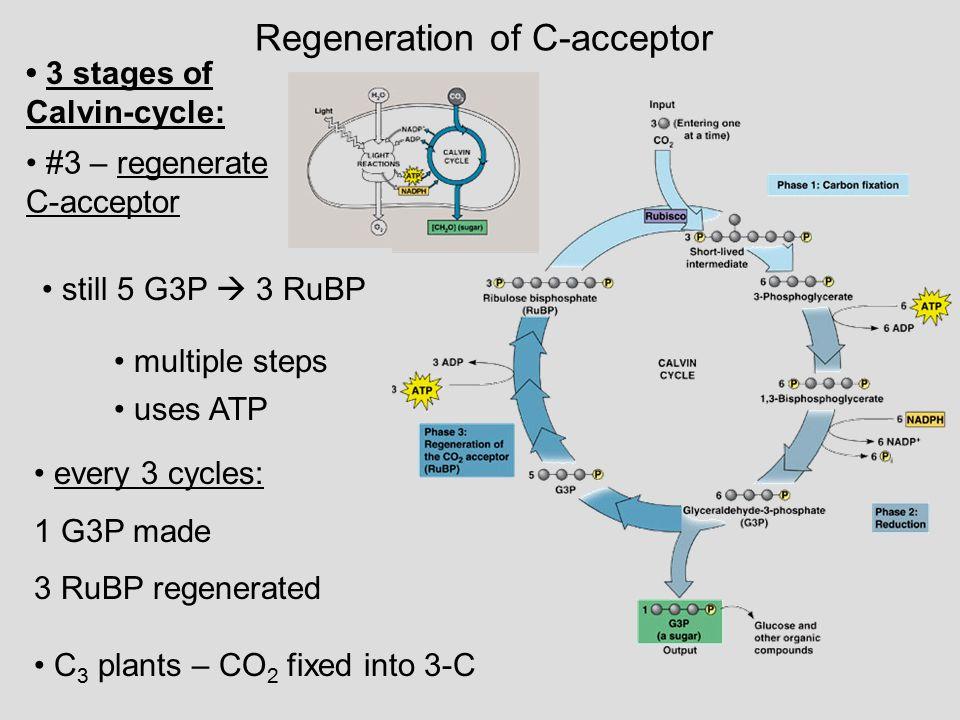 Regeneration of C-acceptor