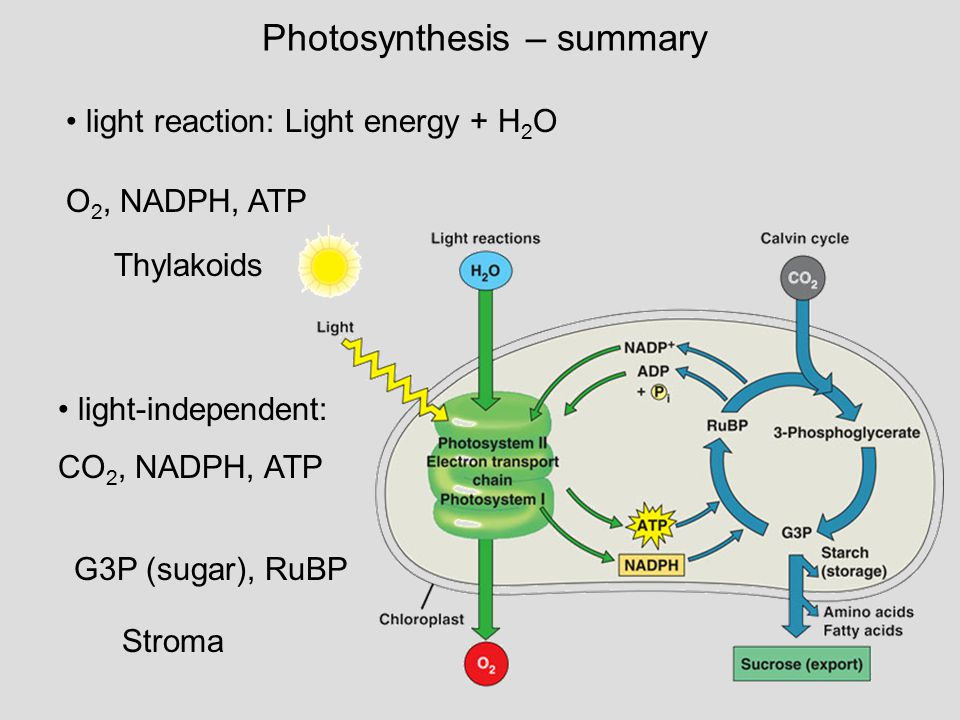summary of photosynthesis Summarizes photosynthesis, answers faqs and addresses common  misconceptions.