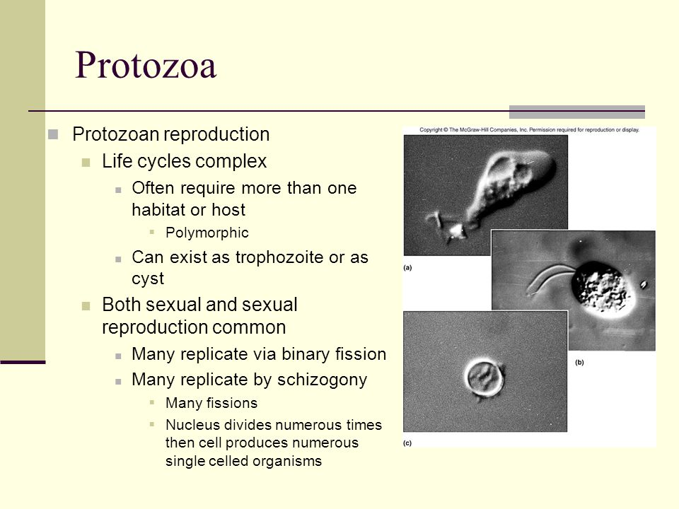 Protozoa Protozoan reproduction Life cycles complex