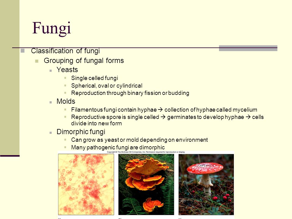 Fungi Classification of fungi Grouping of fungal forms Yeasts Molds