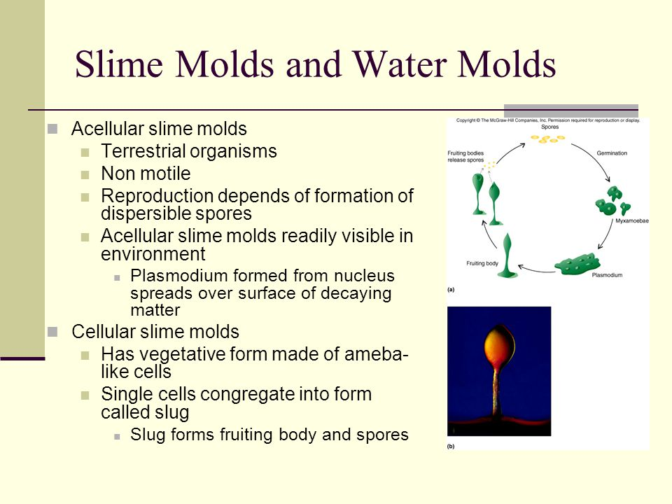Slime Molds and Water Molds