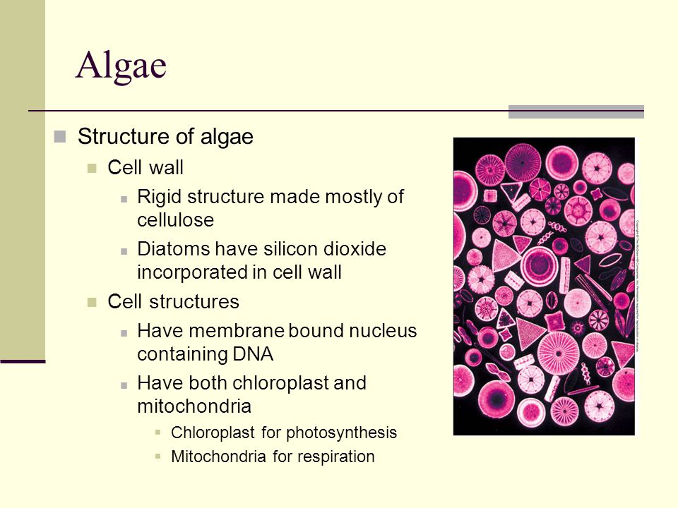 Algae Structure of algae Cell wall Cell structures