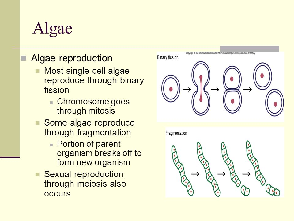 Algae Algae reproduction