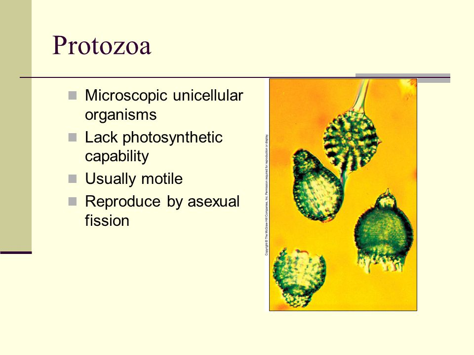 Protozoa Microscopic unicellular organisms