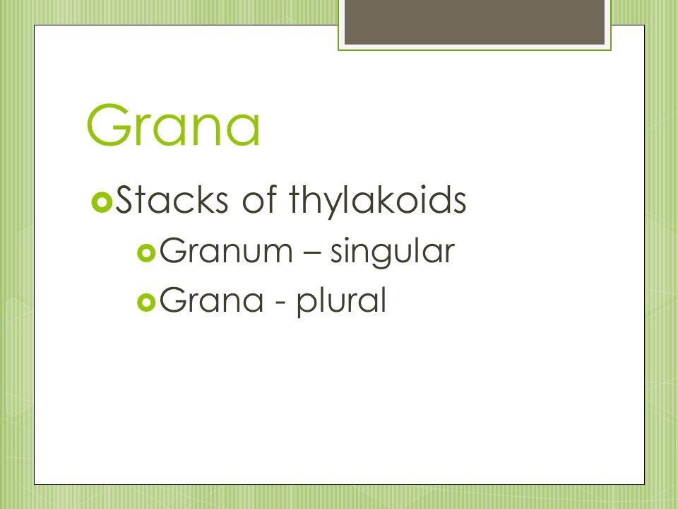 Grana Stacks of thylakoids Granum – singular Grana - plural