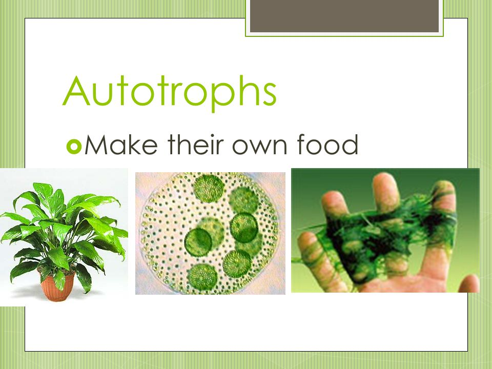 Autotrophs Make their own food