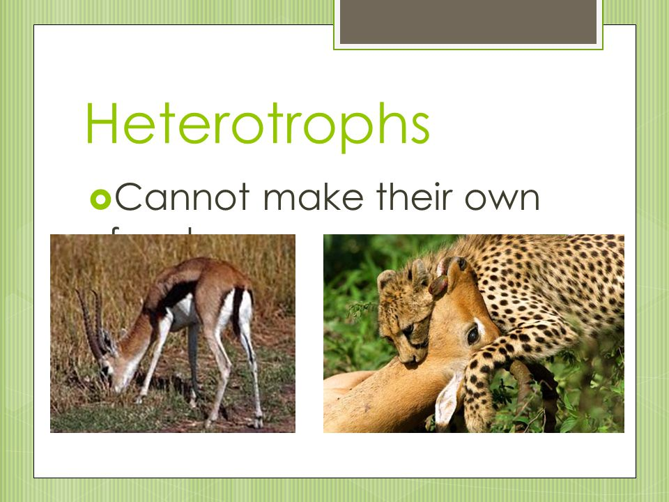 Heterotrophs Cannot make their own food