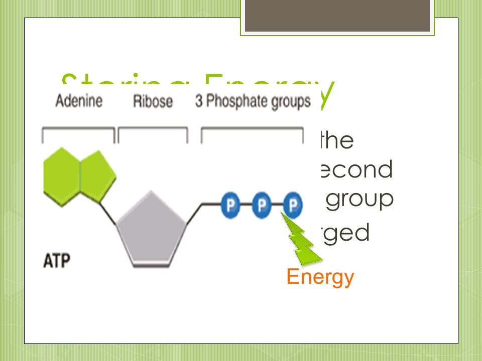 Storing Energy ATP stores energy in the bond between the second and third phosphate group. ATP is like a fully charged battery.