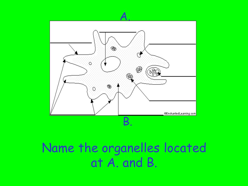 Name the organelles located at A. and B.