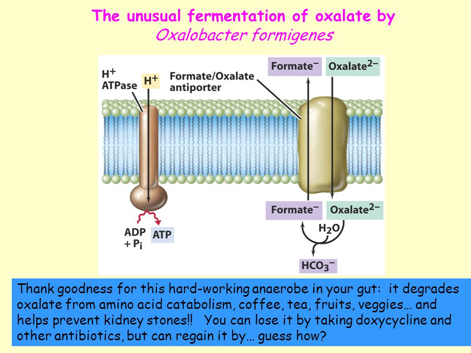 The unusual fermentation of oxalate by Oxalobacter formigenes