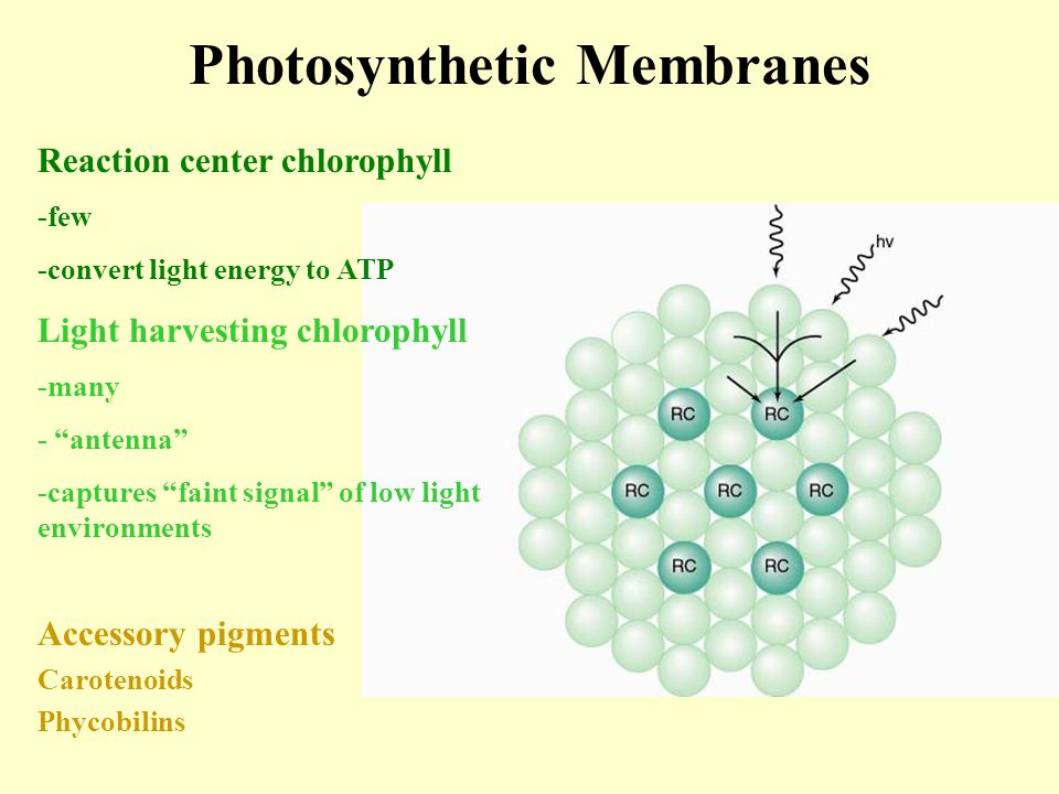 Photosynthetic Membranes