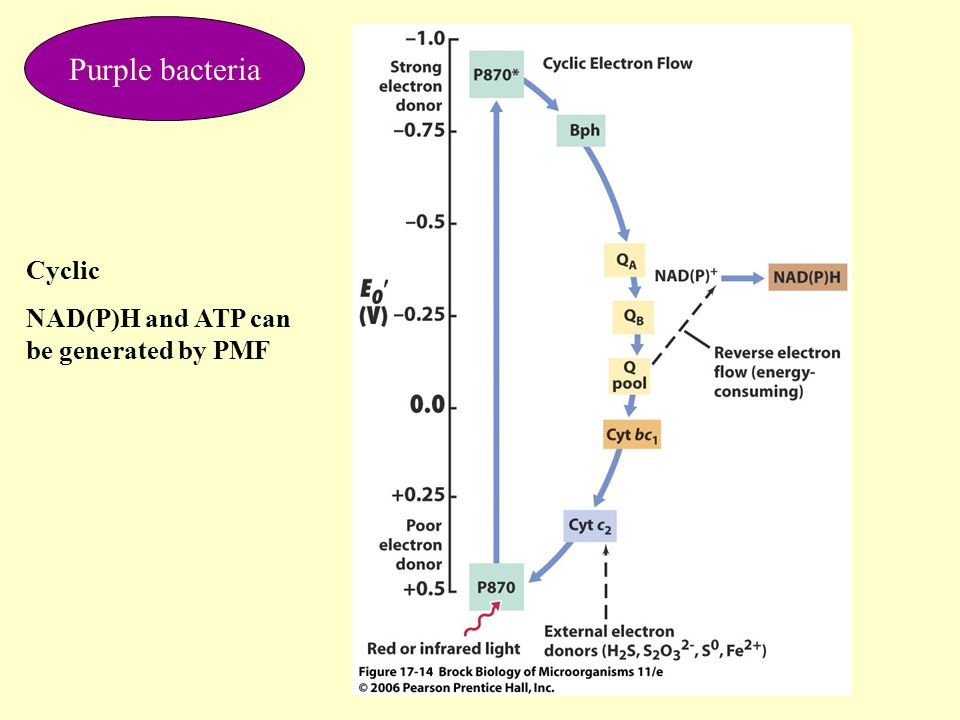 Purple bacteria Cyclic NAD(P)H and ATP can be generated by PMF
