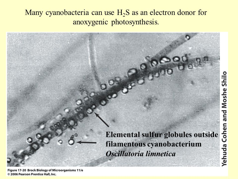 Many cyanobacteria can use H2S as an electron donor for anoxygenic photosynthesis.