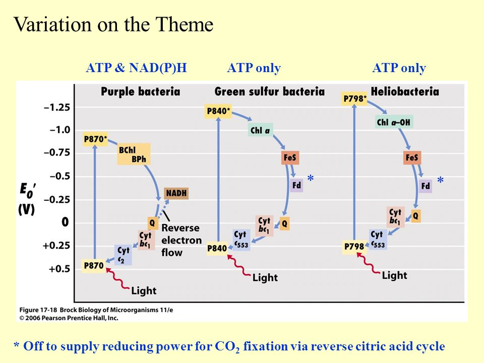Variation on the Theme * * ATP & NAD(P)H ATP only ATP only
