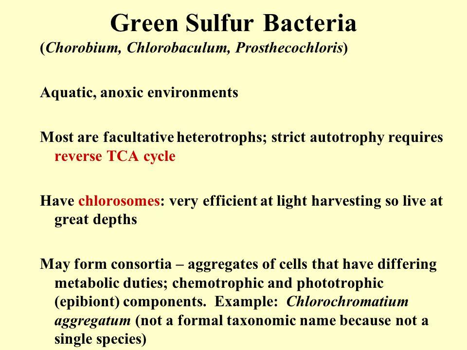 Green Sulfur Bacteria (Chorobium, Chlorobaculum, Prosthecochloris)
