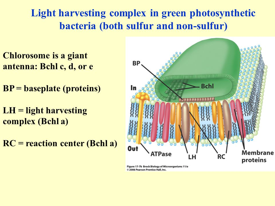 Light harvesting complex in green photosynthetic bacteria (both sulfur and non-sulfur)