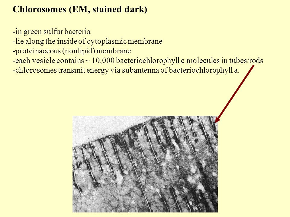 Chlorosomes (EM, stained dark) -in green sulfur bacteria -lie along the inside of cytoplasmic membrane -proteinaceous (nonlipid) membrane -each vesicle contains ~ 10,000 bacteriochlorophyll c molecules in tubes/rods -chlorosomes transmit energy via subantenna of bacteriochlorophyll a.